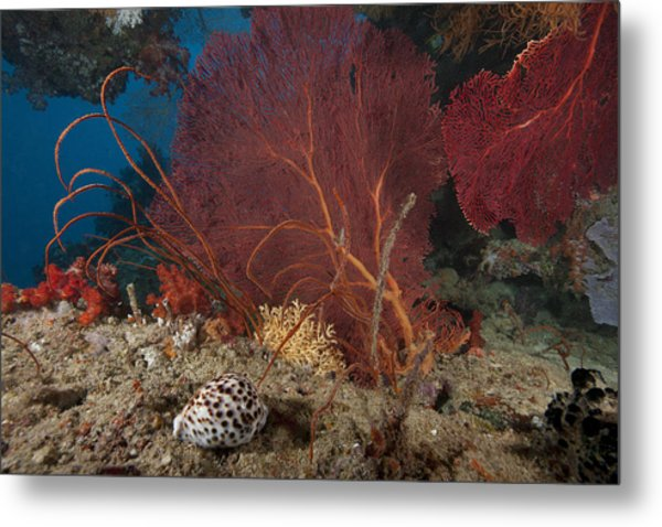 A Large Red Gorgonian Sea Fan And Tiger Metal Print