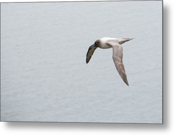 A Light Mantled Albatross Metal Print