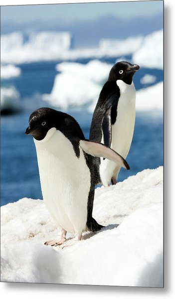 Adelie Penguins Metal Print by William Ervin/science Photo Library