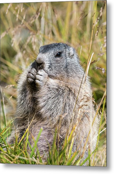 Alpine Marmot (marmota Marmota Metal Print by Martin Zwick