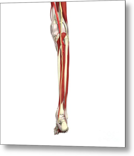 Arteries, Nerves And Muscles Of Leg Metal Print