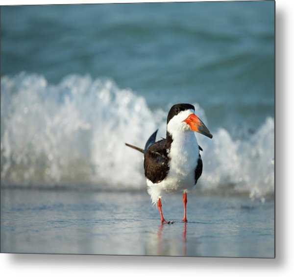 Black Skimmer Bathing Along Shoreline Metal Print
