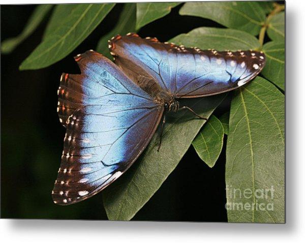 Blue Morpho Butterfly Metal Print
