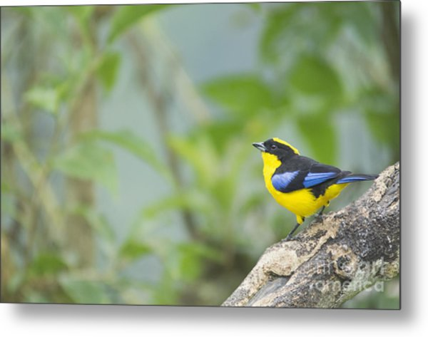 Blue-winged Mountain Tanager Metal Print