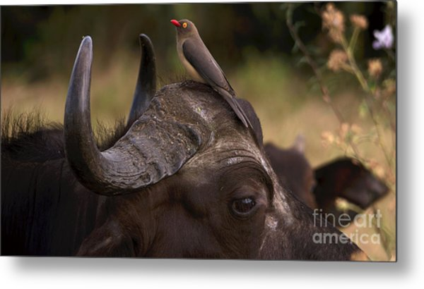Buffalo And Oxpecker Metal Print