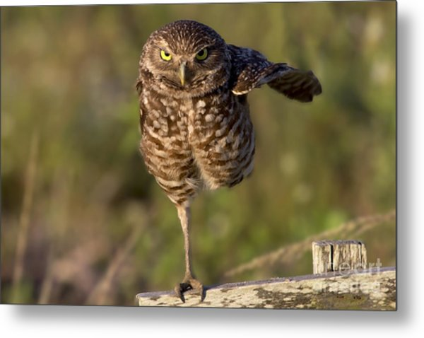 Burrowing Owl Photograph Metal Print