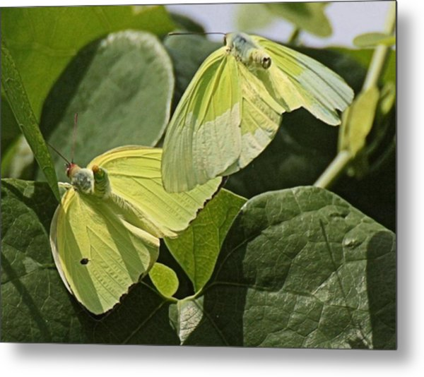 Butterfly Love Metal Print by Dart and Suze Humeston