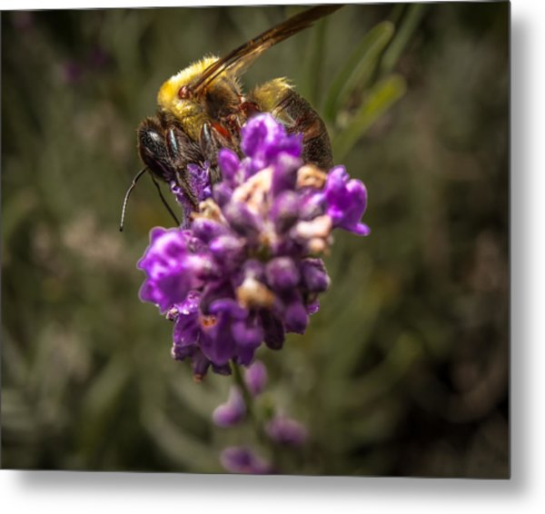 Carpenter Bee On A Lavender Spike Metal Print