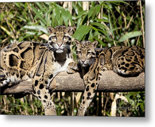 Clouded Leopards Metal Print