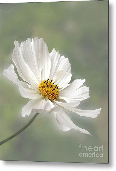 Cosmos Flower In White Metal Print