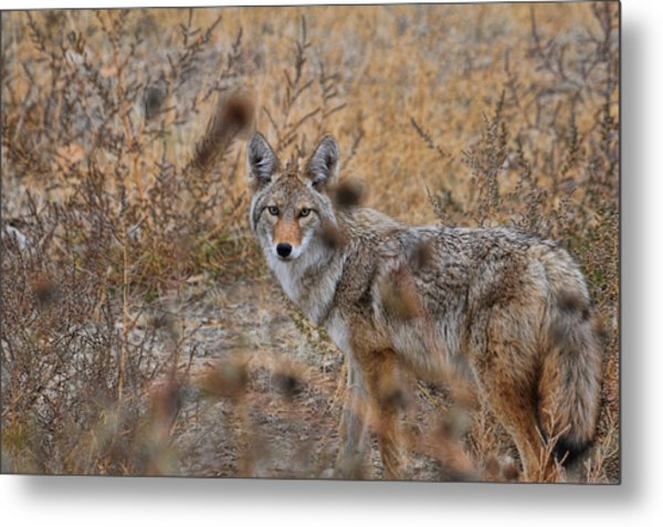 Coyote Eyes Metal Print