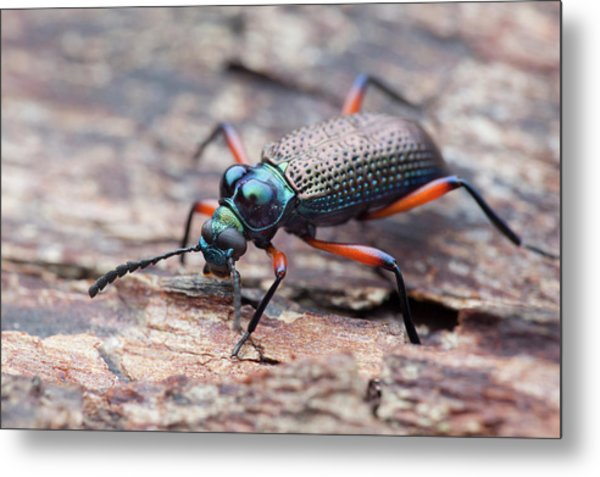 Darkling Beetle Metal Print by Melvyn Yeo