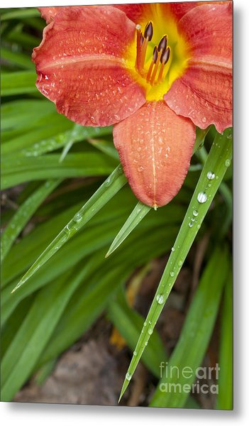 Daylily Metal Print by Jonathan Welch
