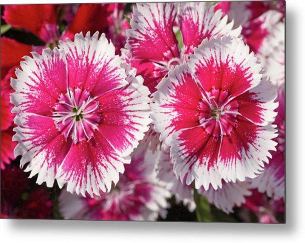 Dianthus 'summer Splash' Flowers Metal Print by Ann Pickford