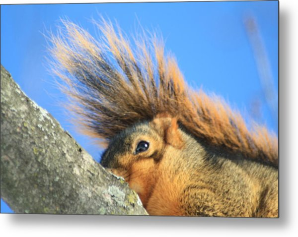 Eastern Fox Squirrel Metal Print