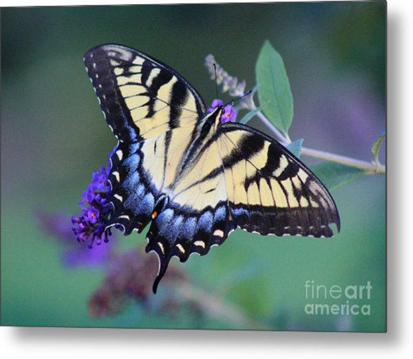 Eastern Tiger Swallowtail Butterfly On Butterfly Bush Metal Print