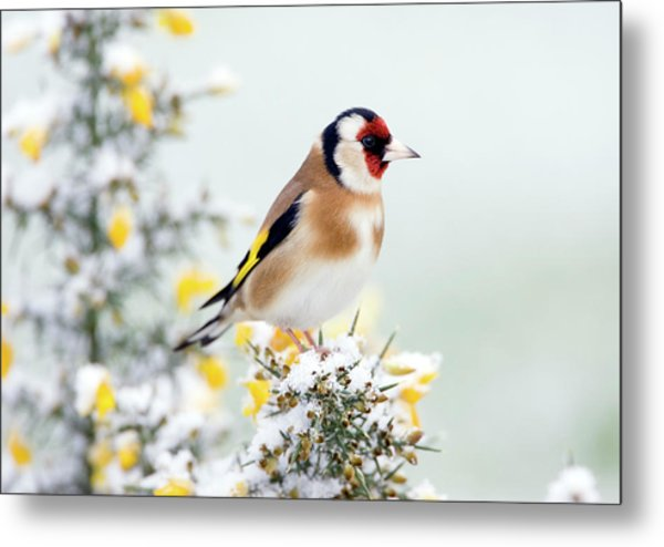 European Goldfinch Metal Print by John Devries/science Photo Library