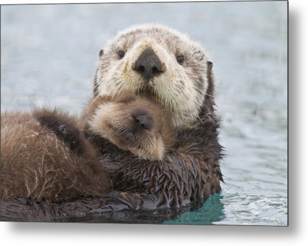 Female Sea Otter Holding Newborn Pup Metal Print