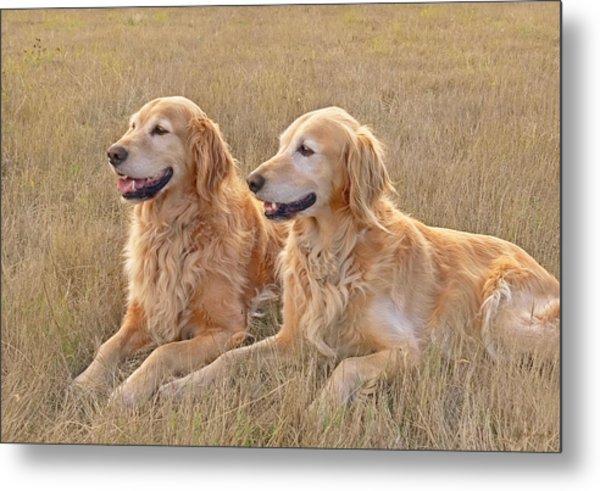 Golden Retrievers In Golden Field Metal Print