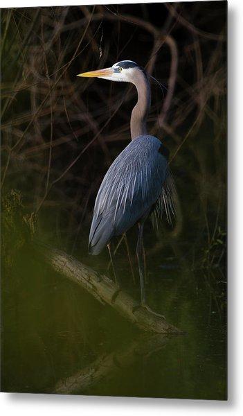 Great Blue Heron (ardea Herodias Metal Print
