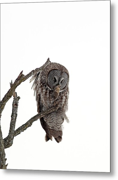 Great Grey Owl  Metal Print by William Cooke