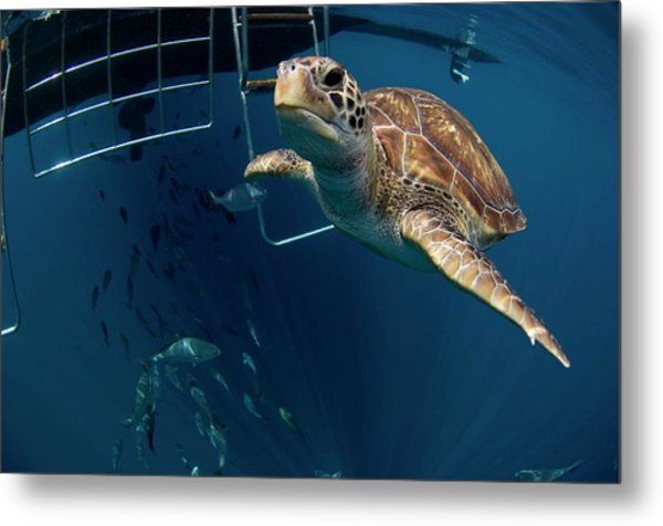 Green Turtle Swimming Metal Print by Peter Scoones/science Photo Library