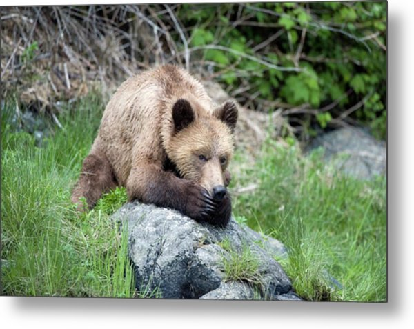 Grizzly Bear Metal Print by Dr P. Marazzi/science Photo Library