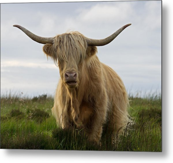 Highland Cow On Exmoor Metal Print