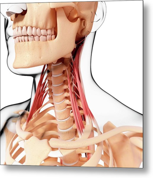 Human Neck Musculature Metal Print