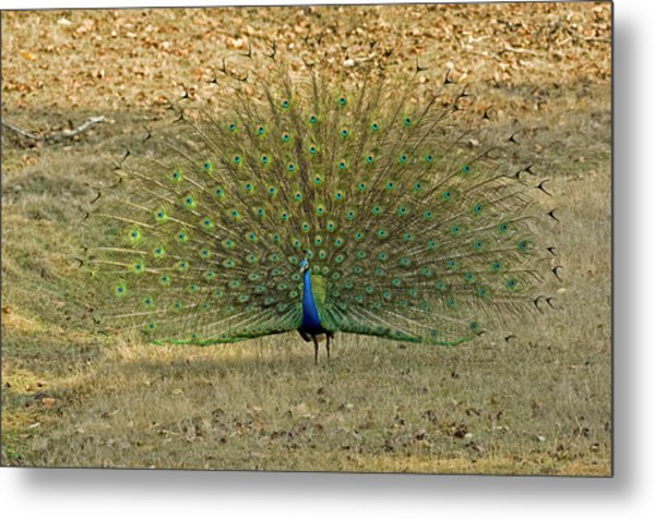 Indian Peacock Metal Print by Tony Camacho/science Photo Library