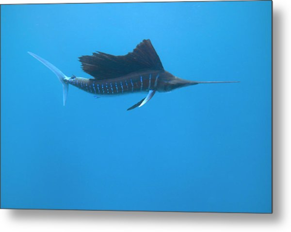 Indo-pacific Sailfish (istiophorus Metal Print