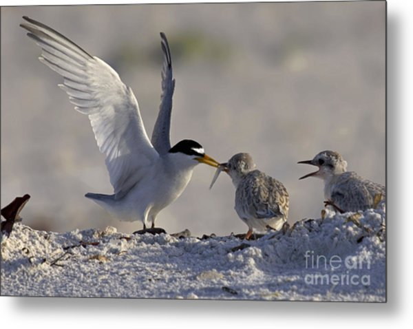 Least Tern Feeding It's Young Metal Print