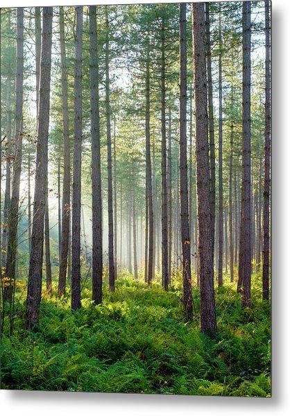 Light Rays Through Trees In Hoge Kempen Metal Print