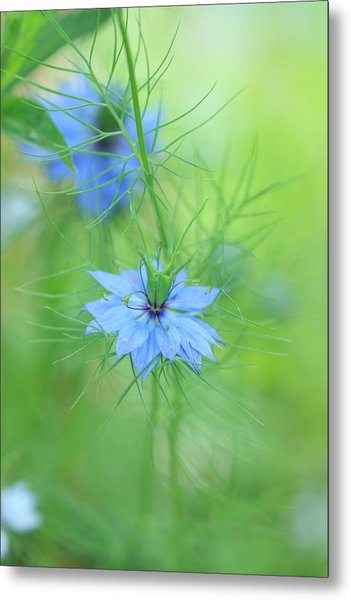 Love In A Mist Metal Print