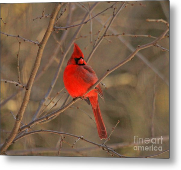 Male Northern Cardinal Metal Print