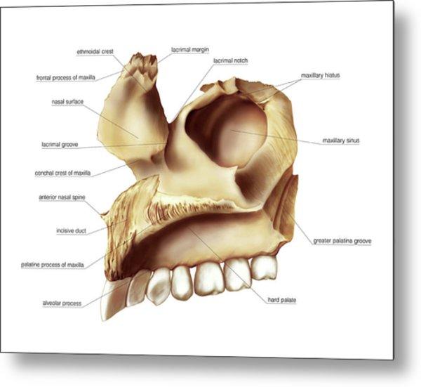Maxilla Bone Photograph By Asklepios Medical Atlas