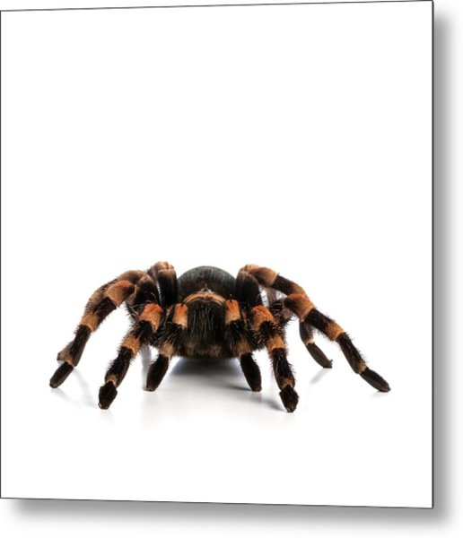 Mexican Redknee Tarantula Metal Print by Science Photo Library