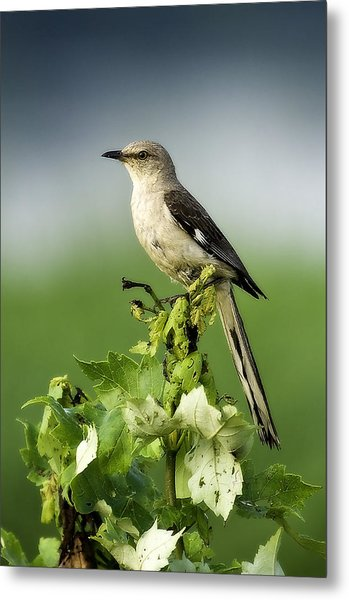 Mocking Bird Metal Print