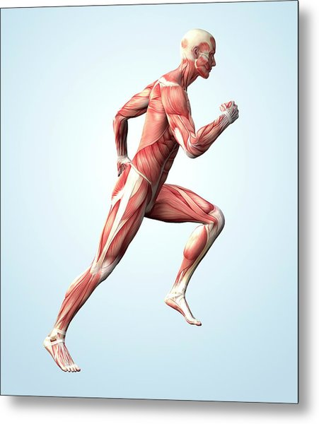 Muscular System Metal Print by Roger Harris