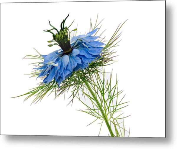 Metal Print featuring the photograph Nigella Damascena by Paul Gulliver