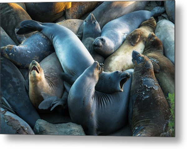 Northern Elephant Seals At Piedras Metal Print by Russ Bishop