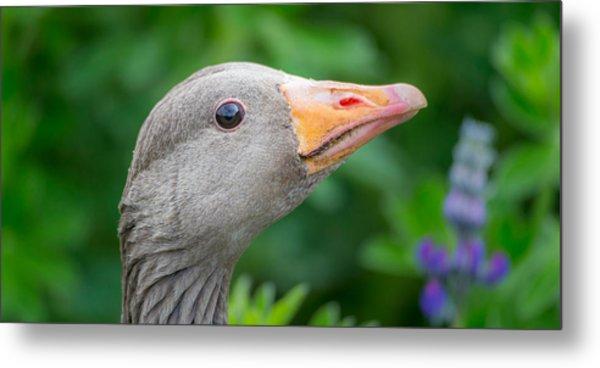 Portrait Of Greylag Goose, Iceland Metal Print