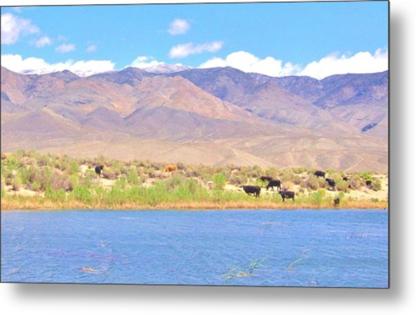 Range Cattle Metal Print by Marilyn Diaz