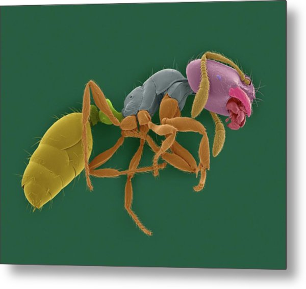 Red Imported Fire Ant Metal Print
