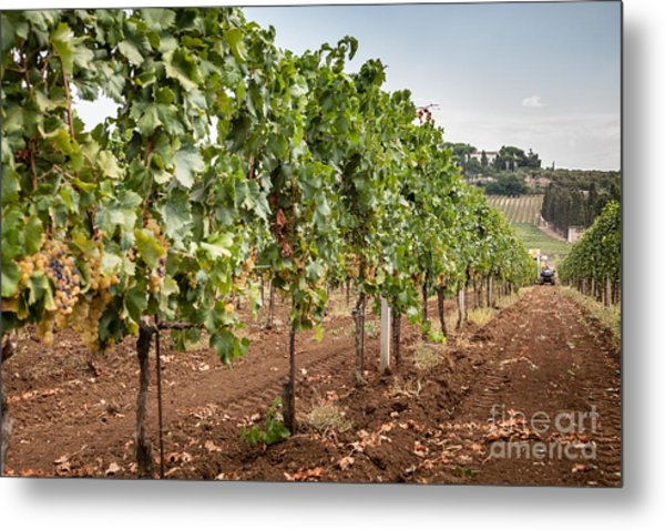 Rows On Vines With A Mechanical Harvester In The Distance Harves Metal Print