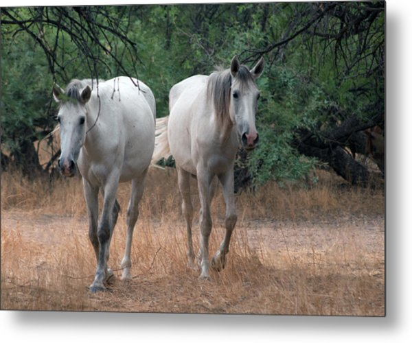 Salt River Wild Horse Metal Print