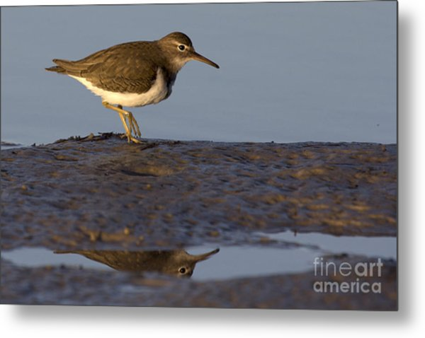 Spotted Sandpiper Reflection Metal Print