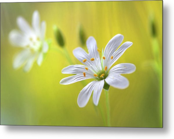 Stitchwort Metal Print by Mandy Disher