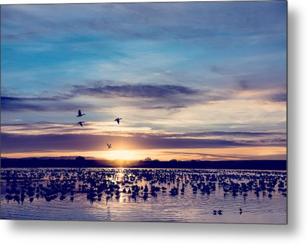 Sunrise - Snow Geese - Birds Metal Print