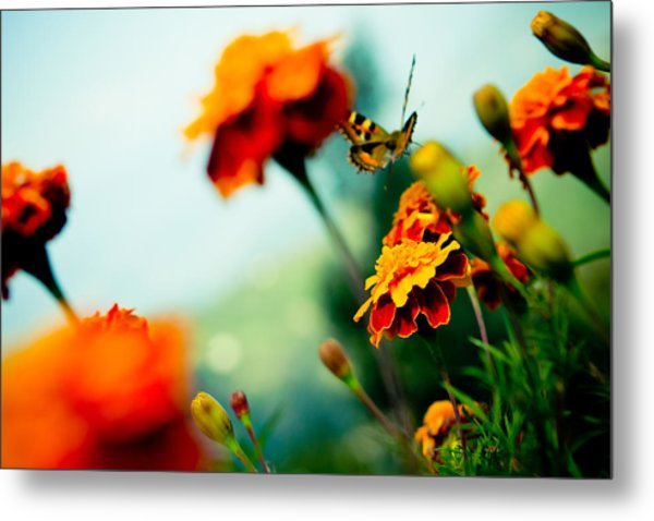 Tagetes And Buterfly Fly Away  Metal Print